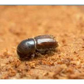 Akdeniz Çam Kabuk Böceği Feromonu (Cezbedicisi)