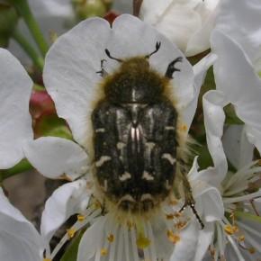 Çiçek Zınnı Feromonu (Cezbedicisi)