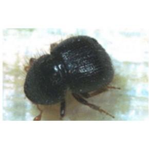 Dalkıran Böceği Feromon Tuzağı