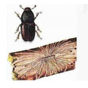 Elma Yazıcı Böceği Feromon Tuzağı