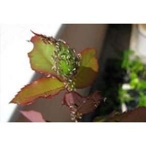 Gül Yaprak Biti Yapışkan Tuzağı
