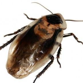 Hamam Böceği Zehiri