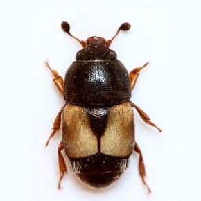 İncir Yazıcı Böceği Feromon Tuzağı