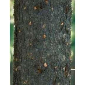 Karaağaç Büyük Kabuk Böceği Feromon Tuzağı