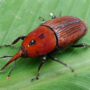 Kırmızı Palmiye Böceği Feromon (Cezbedicisi)