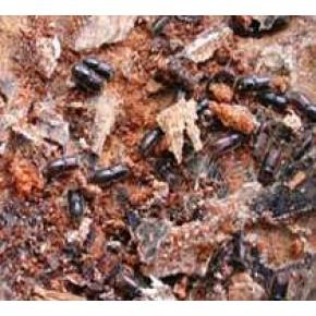 Küçük Yazıcı Böceği Feromon Tuzağı