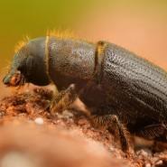 Meyve Yazıcı Böceği Feromonu